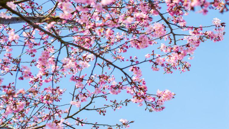 A lunglut huai Phuitong (Sakura – Cherry)