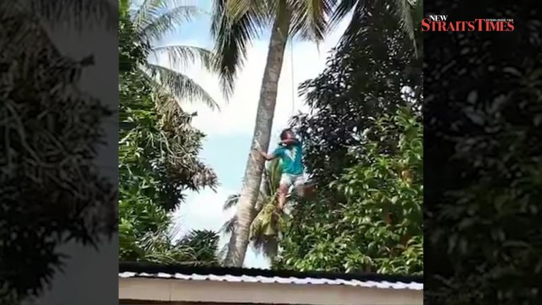 Coconut kungtung pan aki gui awklum dektak khat Video kizaihkha